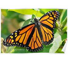 Monarch on Milkweed Poster