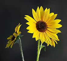 Brown-eyed Susans by Marvin Collins