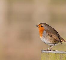 European Robin by Ashley Beolens