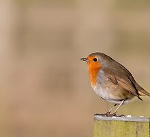 European Robin by Ashley Beolens
