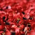 poppies by Pino