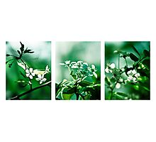 Collage White Cherry Blossoms Photographic Print