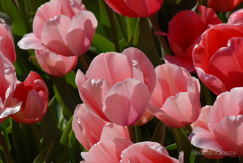 Tulips  by EleandraSouza