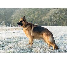 A German Sheperd in the frost Photographic Print