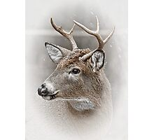 Whitetailed Deer Buck Photographic Print