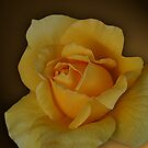 A Rose is a Rose  by tess1731
