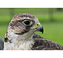 Falcons Photographic Print