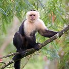 Capuchin monkey - Costa Rica by Jim Cumming