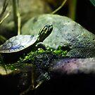 Turtle by sara montour