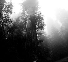 Redwoods by taylorswift