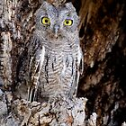 Western Screech Owl by Daniel J. McCauley IV