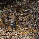 Numbat on the Norn by Rick Playle
