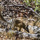 Numbat-4 by Rick Playle