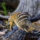 Numbat skidaddle  by Rick Playle