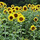 Sunflowers, Sunflowers, Sunflowers by BigD