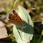 Australian Butterfly by ssphotographics