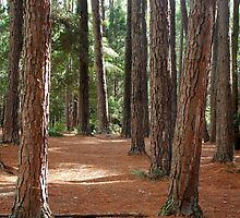 Pines Picnic Area - Watagan State Forest NSW by Phil Woodman