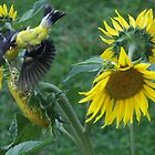 ( Birdseye view of a ) Goldfinch in Flying over the Sunflowers by Starr1949