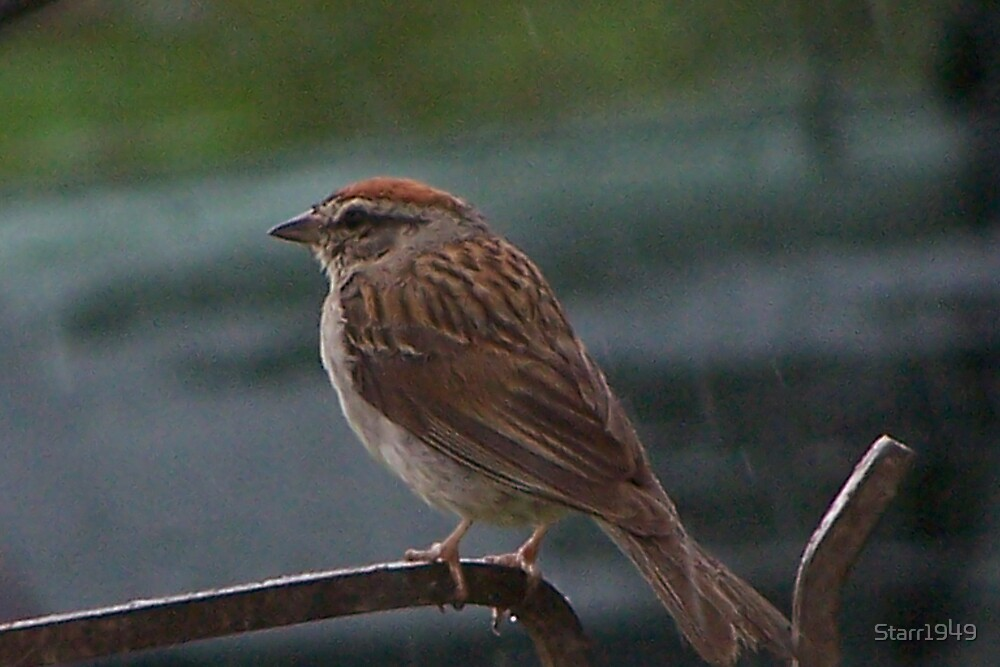 The Song Sparrow in the Rain by Starr1949