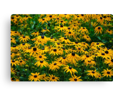 Black Eyed Daisies Canvas Print