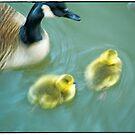 Geese & Gosling by andymars