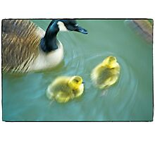 Geese & Gosling Photographic Print