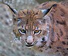Lynx by Krys Bailey