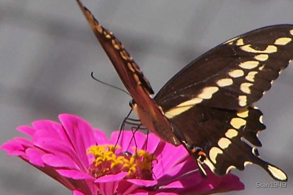 Same Monarch Butterfly  by Starr1949