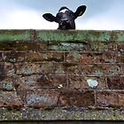 Cow 66 by Dale North Photography