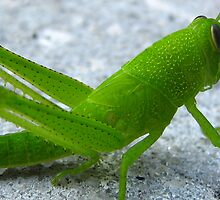 Solved By Glenda Remaklus, Exodus Chapter 10  ..Locust also Known as Short Horned by Heavenandus777