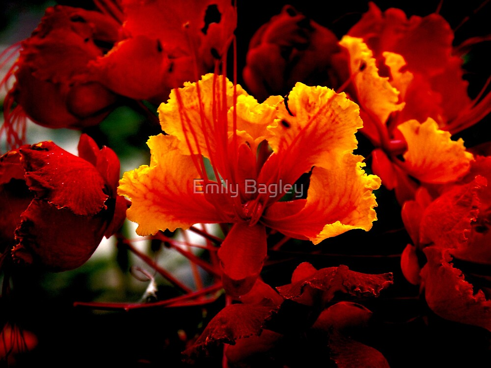 Mexican Bird of Paradise by Emily Bagley