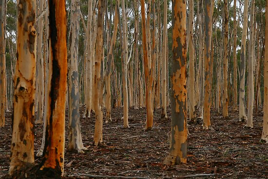 WINTER IN THE FOREST OF GUM TREES by Ronald Rockman