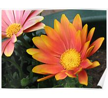 Bright and Beautiful - Bella Cape Daisies Poster