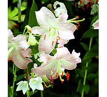Pink Daylillies Photographic Print