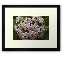 Hoya Waxflower Framed Print
