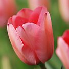 Tulip by ssphotographics