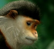 Doucs Langur by Robyn Carter