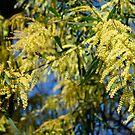 Australian Wattle tree by Maggie Hegarty