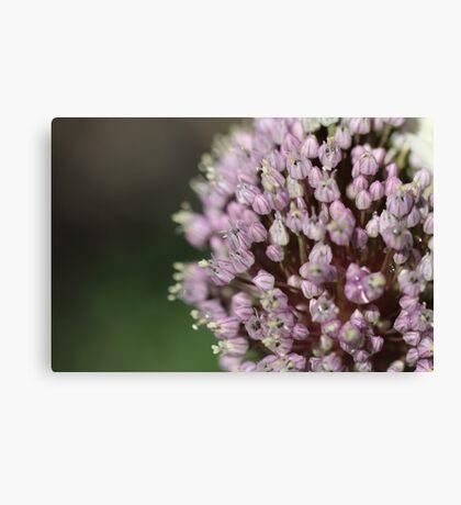 Russion garlic flower head Canvas Print