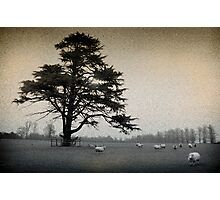 Field with Sheep Photographic Print
