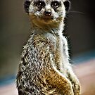 Meerkat by Scott Ward