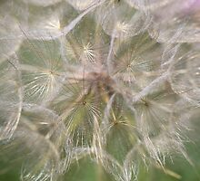 Giant Dandelion close up by Leisa Stear