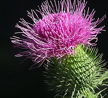 A True Thistle by Corinne Noon