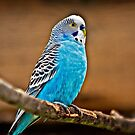 Blue Bird by Scott Ward