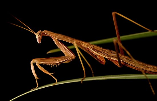 praying mantis 4 by jude walton