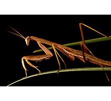 praying mantis 4 Photographic Print