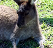 Kangaroo - Quindalup Fauna Park W.A. by Coralie Plozza