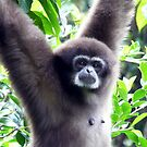 White-handed Gibbon also known as Lars gibbon by JulieM