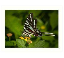 Zebra Swallowtail I Art Print