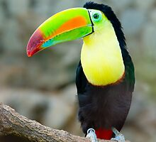 Toucan by clayjars